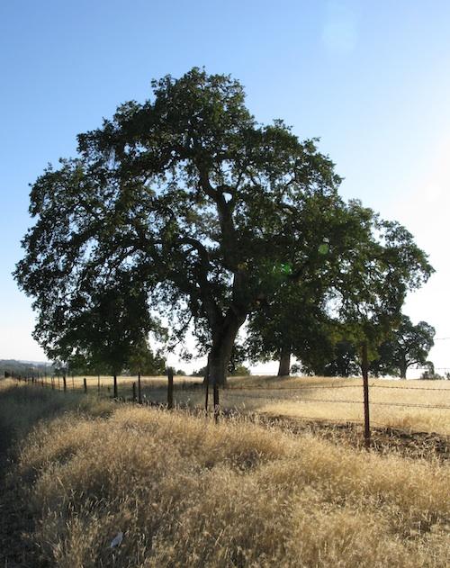 Splendid Mighty Oak